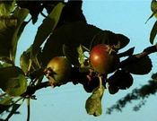 How Seasons Affect Apple Trees